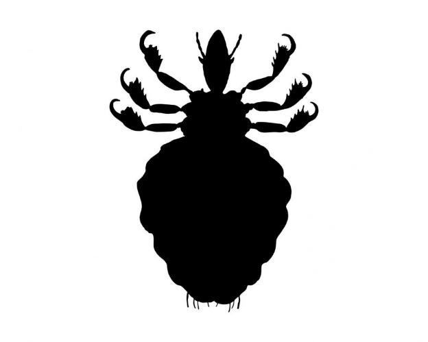 adult louse