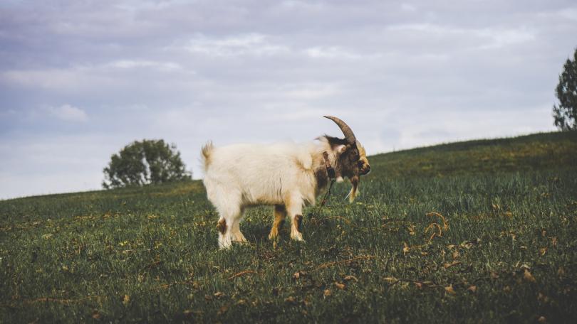 Goat's Milk Lotion
