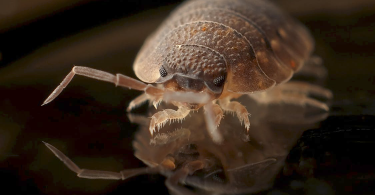 A bed bug crawling on glass