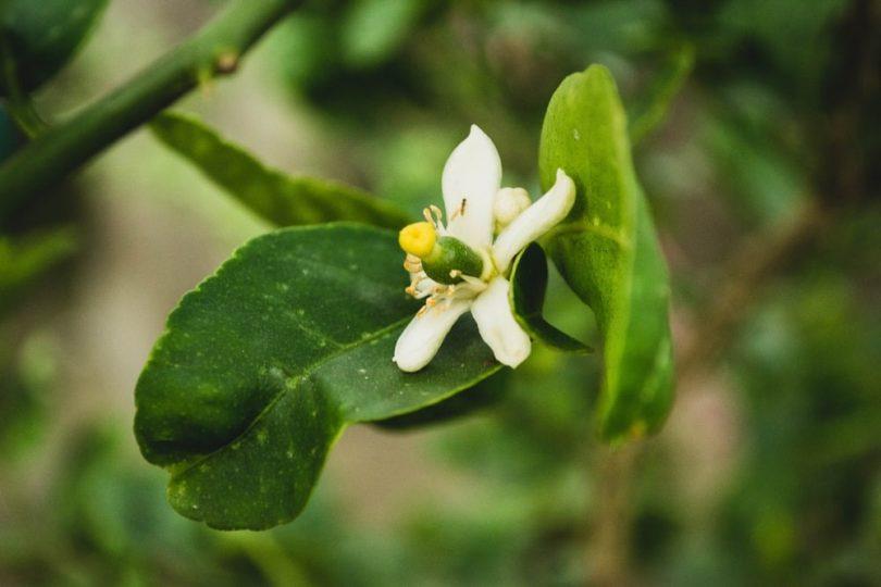 A Lemon Flower