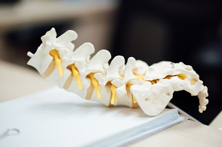The Lower Back Portion of a Spinal Column Model