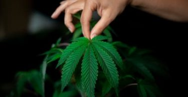 A person holding a cannabis leaf